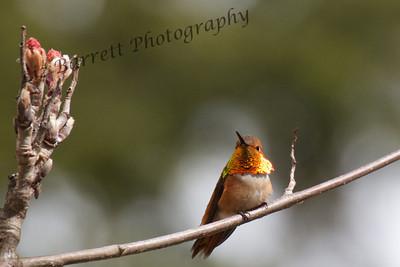 IMG_5855 - Rufous Humming bird