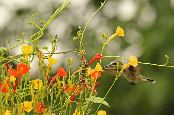Hummingbird on Yellow Morning Glory