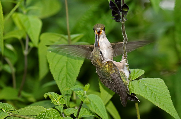 Ruby-Throated Hummingbirds Fighting Over Black and Blue Saliva