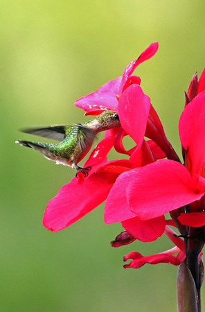 Ruby-Throated Hummingbird At Red Canna
