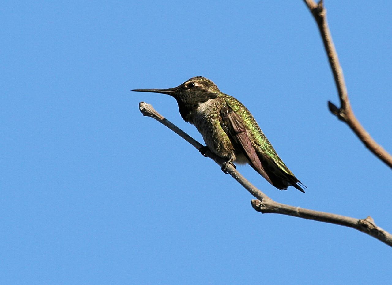Black-chinned Humming Bird