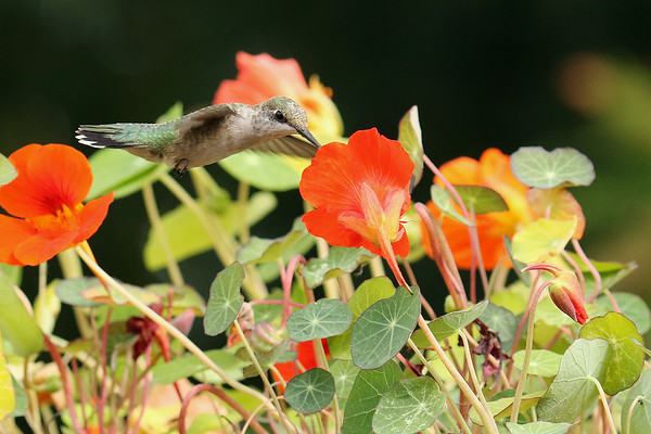 Ruby-Throated Hummingbird On Nasturtium (Archilochus colubris)