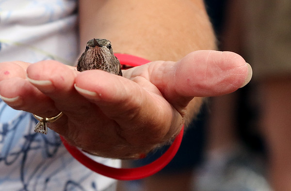 Female Anna's Hummingbird (Calypte anna) Bird Banding, Sedona, Arizona
