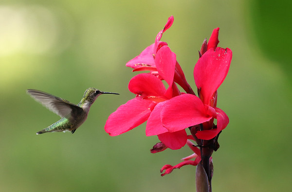 Ruby-Throated Hummingbird Flying To A Red Canna
