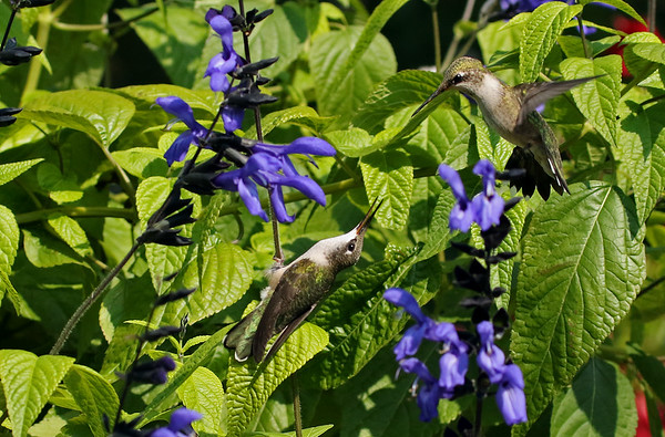 Ruby-Throated Hummingbirds Fighting over Blue and Black Saliva
