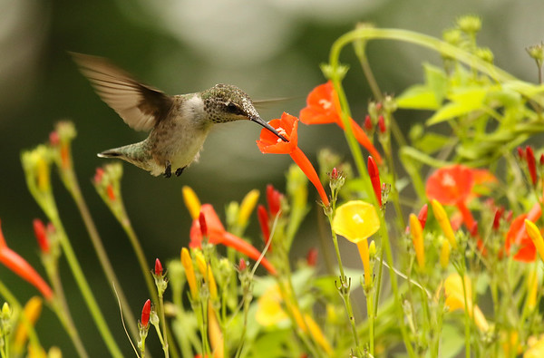 Hummingbird on Orange Noah Morning Glory