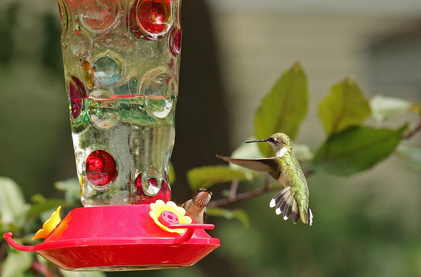 Two Hummingbirds at Levis Feeder