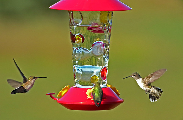 Three Ruby-Throated Hummingbirds At Levis Feeder #2