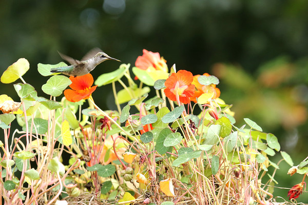 Ruby-Throated Hummingbird On Nasturtium (Archiloch colubris)