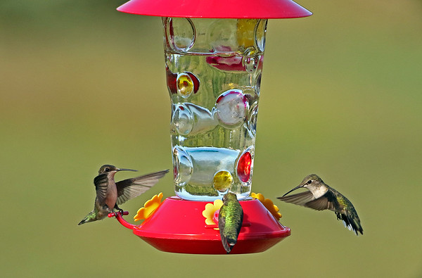 Three Ruby-Throated Hummingbirds At Levis Feeder #1