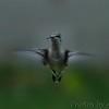 Ruby-throated Hummingbird  <br /> City of Bridgeton <br /> St. Louis County, Missouri <br /> 2003-08-30