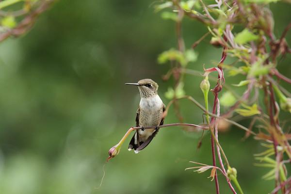 Ruby-Throated Hummingbird On Cardinal Vine #7 (Archilochus colubris)