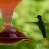 Ruby-throated Hummingbird <br /> Bridgeton, Mo.<br /> <br /> No. 1 on my Lifetime List of Birds <br /> Photographed in Missouri