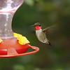 Ruby-throated Hummingbird <br /> City of Bridgeton <br /> St. Louis County, Missouri <br /> 2005-07-31