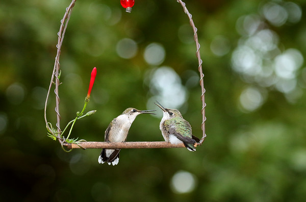Ruby-Throated Hummingbird and Young