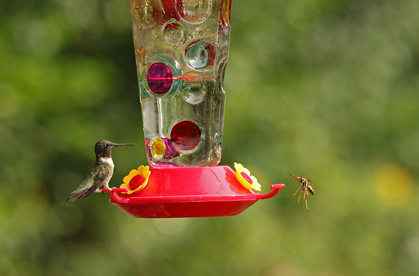 Male Hummingbird and Bee at Levis Feeder