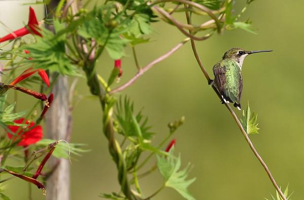 Ruby-Throated Hummingbird At Cardinal Vine