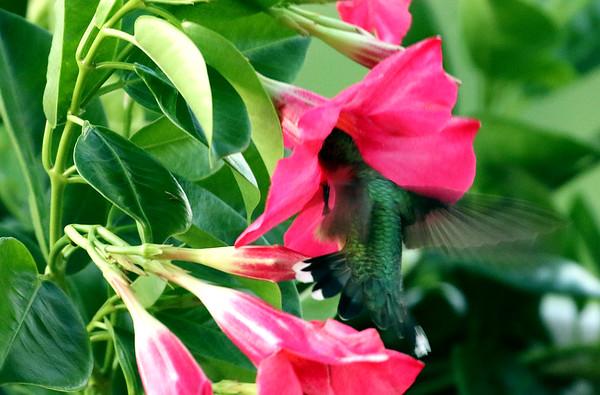 Ruby-Throated Hummingbird At Mandevilla Dipladenia