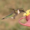 Humming Birds : To see these and more recent Humming Birds click here