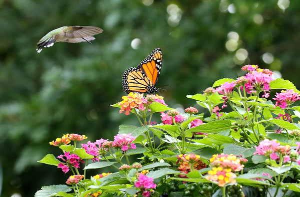 Hummingbird and Monarch on Lantana