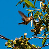 Rufous Hummingbirds : Feeds on flower nectar, insects, spiders, tree sap, visits hummingbird feeders. Its call is sibilant cheep cheep; in defense chases, proclaims zeee-chupppity-chup.  I recommend that you click on the slide show button at the top right side of this page to sit back and enjoy the fine art show. When the slide show begins, I suggest that you click on Hide Captions to view the images unencumbered by text. You can click on the 'Slow,' 'Medium,' or 'Fast' button for your speed preference.  At the conclusion of the slide show click on an image then click on 'show details' at the top of the page to open an option to comment on the image.