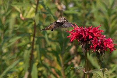 0U2A6299Hummingbirds