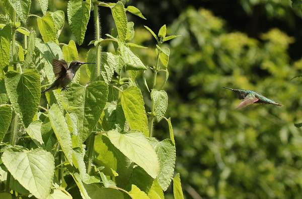 Ruby-Throated Hummingbirds During Mating Season
