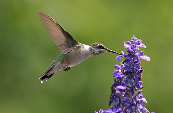 Ruby-Throated Hummingbird On Salvia (Archilochus colubris) In Memory Of Aunt Josephine.