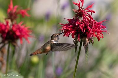 0U2A6102 Hummingbird
