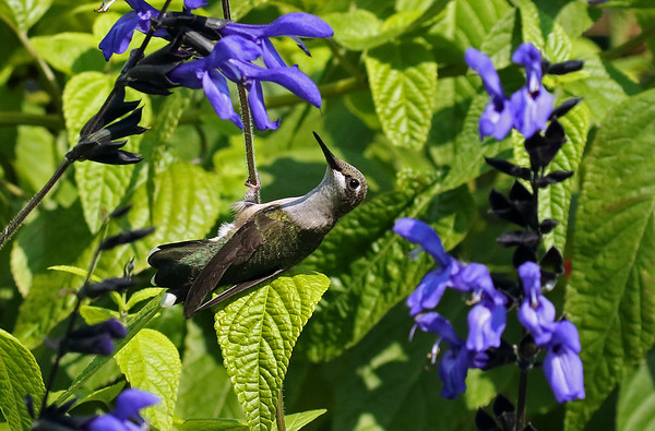 Ruby-Throated Hummingbird on Black and Blue Saliva