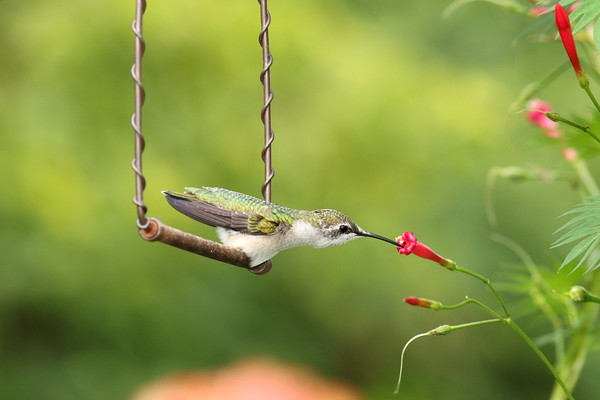 Ruby-Throated Hummingbird Just-A-Swingin (Archilochus colubris)
