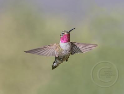Broad-Tailed Hummingbird Hovering