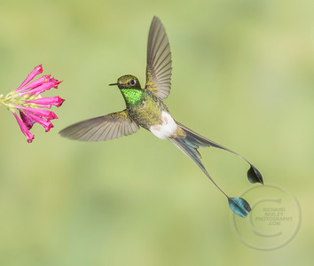 Male Booted Racket-tail