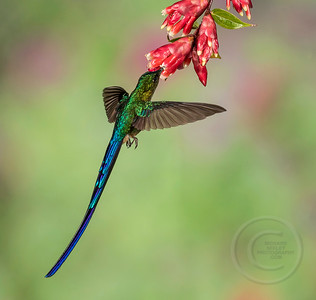 Is It A flying Lizard?