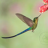 Violet-Tailed Sylph InFlight