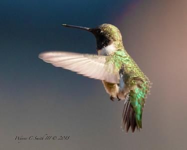 Black Chinned Male Hummingbird Flying