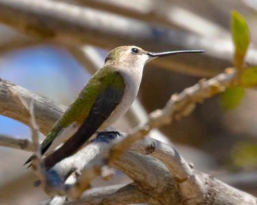 Broad Billed Hummingbird Female