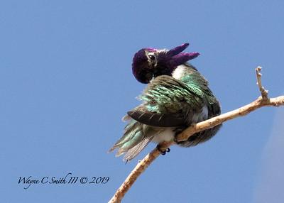 Male Costa Hummingbird Preening