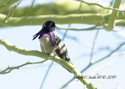 Male Costa Hummingbird Courts the Ladies