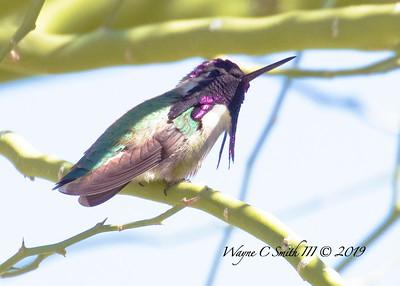 Male Costa Hummingbird