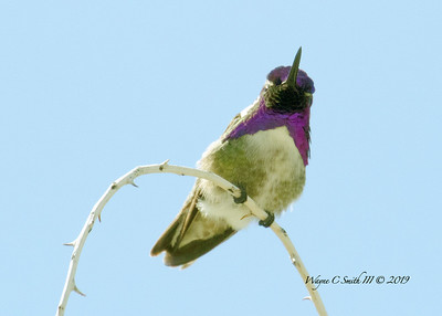 Male Costa Hummingbird Perched & Protecting Territory