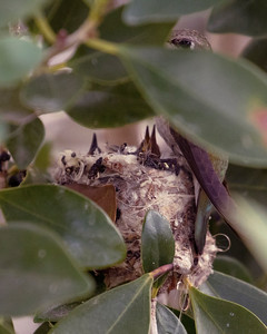 Two Baby Costa Hummingbirds in Nest with Mother