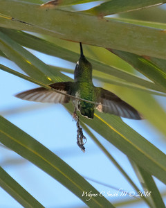 Female Costa Hummingbird