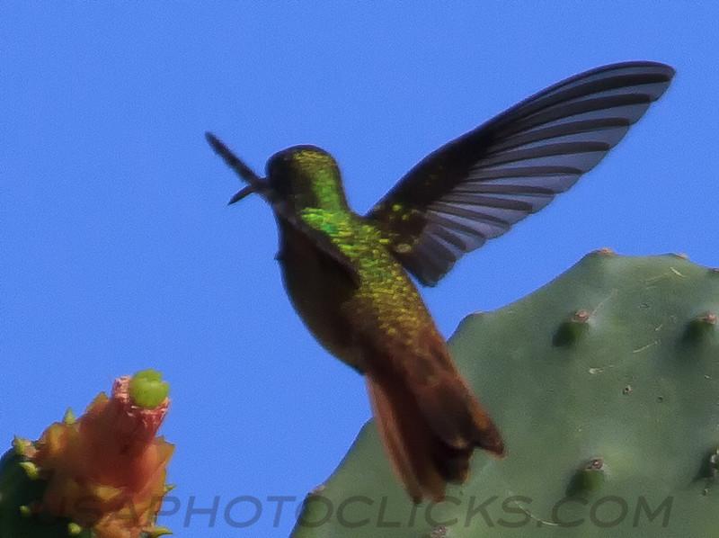 Buff Bellied Humingbird (b1041)