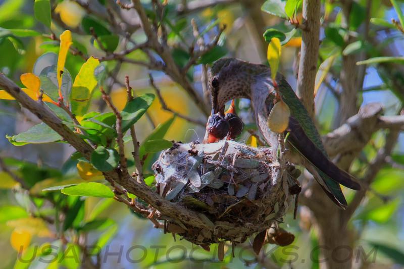 Anna'a Hummingbird (b1022)