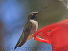 Black Chinned Hummingbird (b10312)