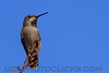 Black Chinned Hummingbird (b10314)
