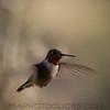 Rufous Hummingbird b2033
