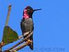 Anna'a Hummingbird (b1021)