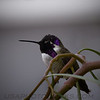 Costa's Hummingbird b10522